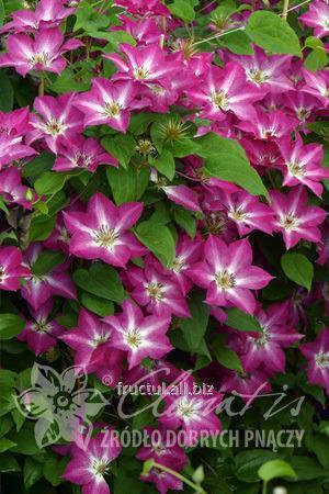 Купить Цветы Viva Polonia