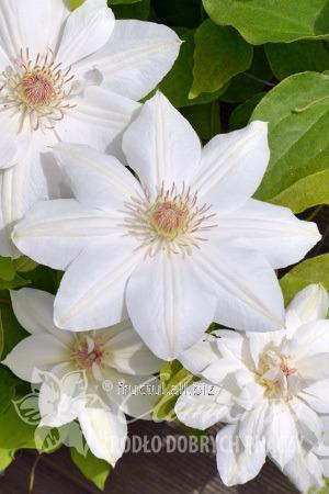 Купить Цветы George Jackman