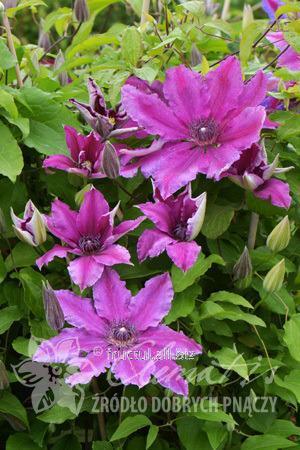 Купить Цветы Barbara Dibley