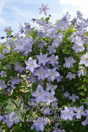 Купить Цветы Blekitny Aniol