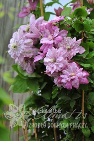 Купить Цветы Inocent Glance