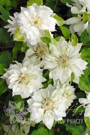 Купить Цветы Yukiokoshi