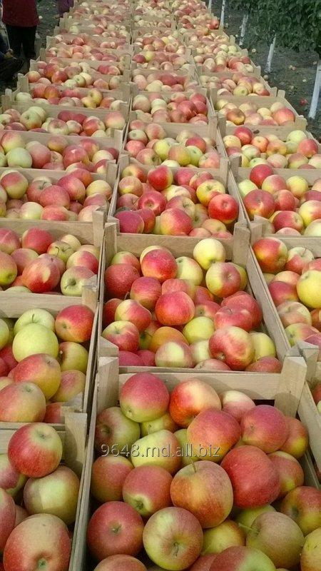 Купить Пинова - зимний сорт яблок!