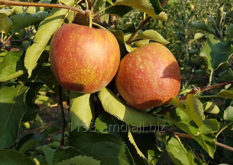 Купить Яблоки Jonagold