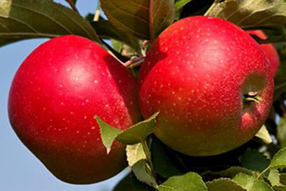 Яблоки Джона Голд (Mere Jona Gold)