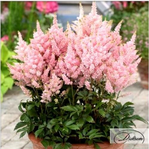 Луковицы Астильба Pink 37412