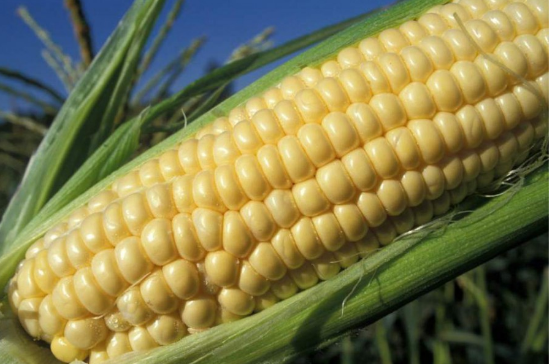 Buy Seeds of sugar corn