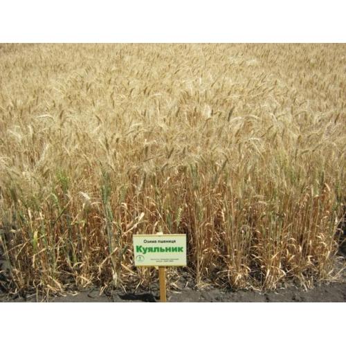 Купить Озимая пшеница Kuialnik