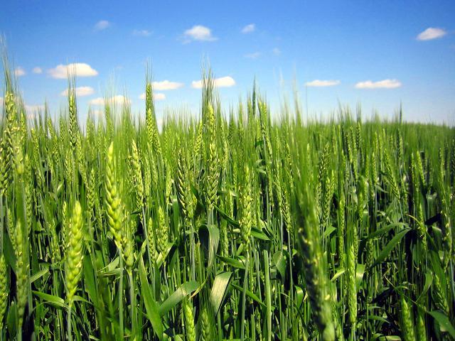 Купить Озимая пшеница Антоновка