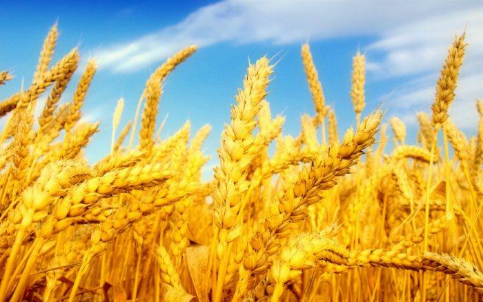 Купить Озимая пшеница Писанка
