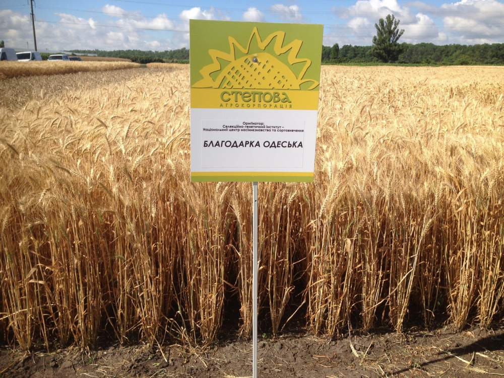 Купить Озимая пшеница Blagodar odesskaia