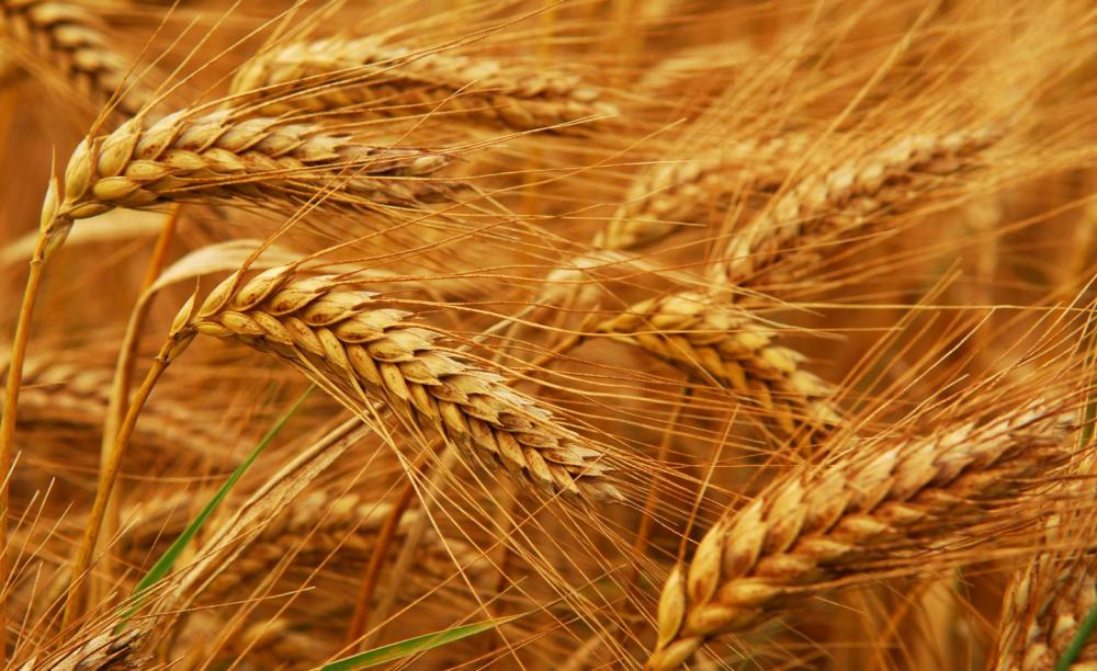 Купить Озимая пшеница Turunciuk