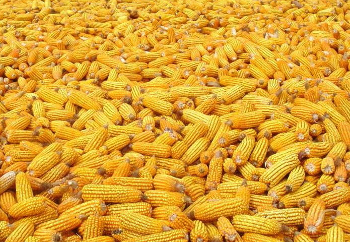 Купить Corn from Moldova