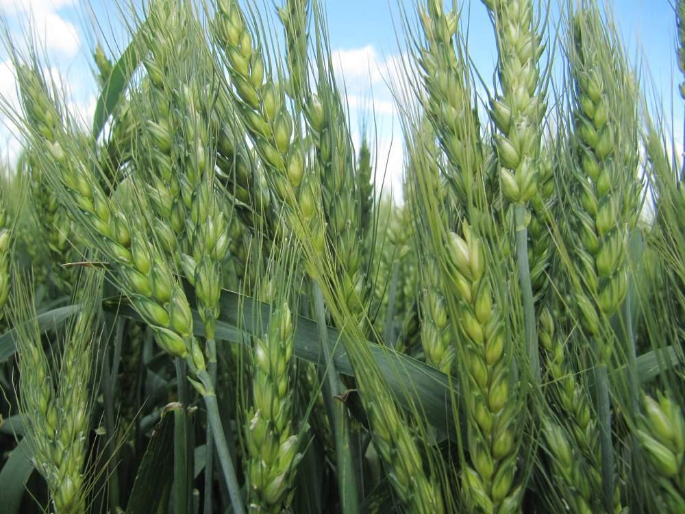 Биоудобрения для зерновых колосовых культур в Молдове