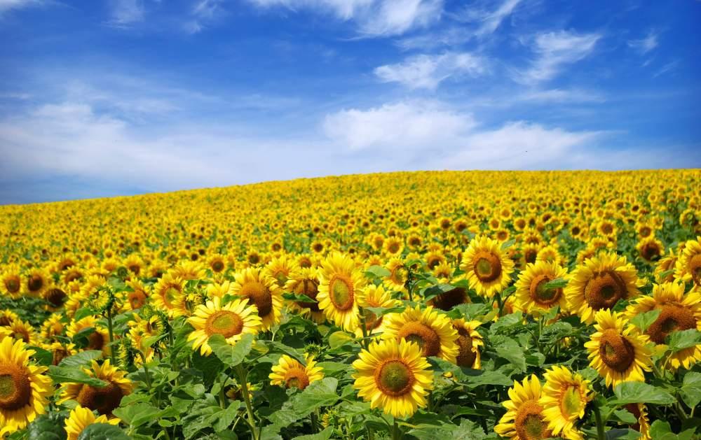 Препараты, стимуляторы роста подсолнечника в Молдове