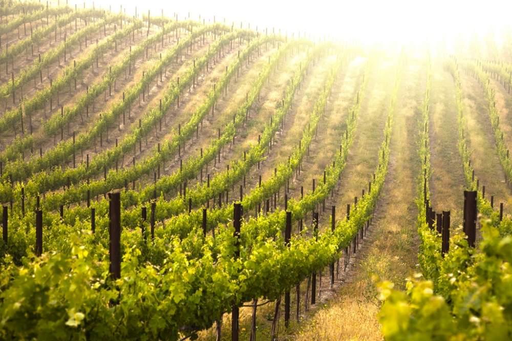 Биологические средства для виноградника