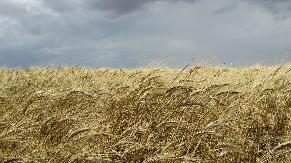 Купить Биологические средства для яровой и озимой пшеницы