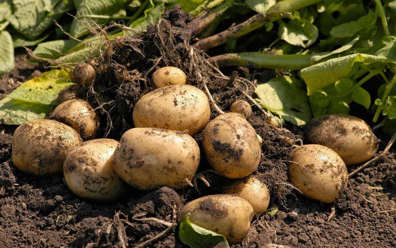 Препарат для защиты картофеля