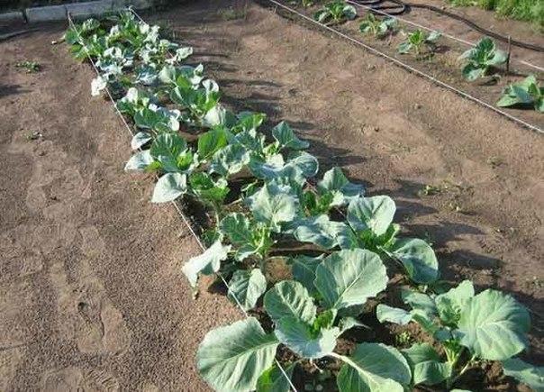 Стимуляторы роста для семян капусты