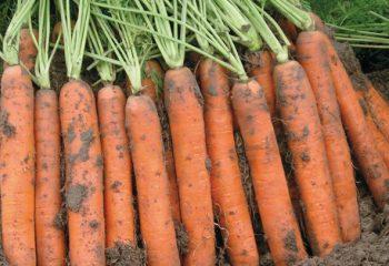 Купить Морковь GSM: + 373 68633385 GSM: + 373 79999383