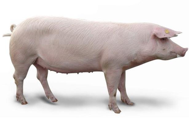 Купить Племенные ремонтные свинки F1
