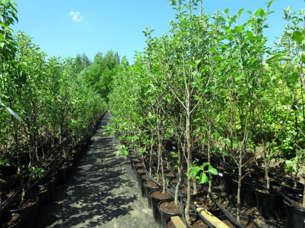 Купить Саженцы всех сортов яблонь в Молдове, Саженцы яблонь в Молдове