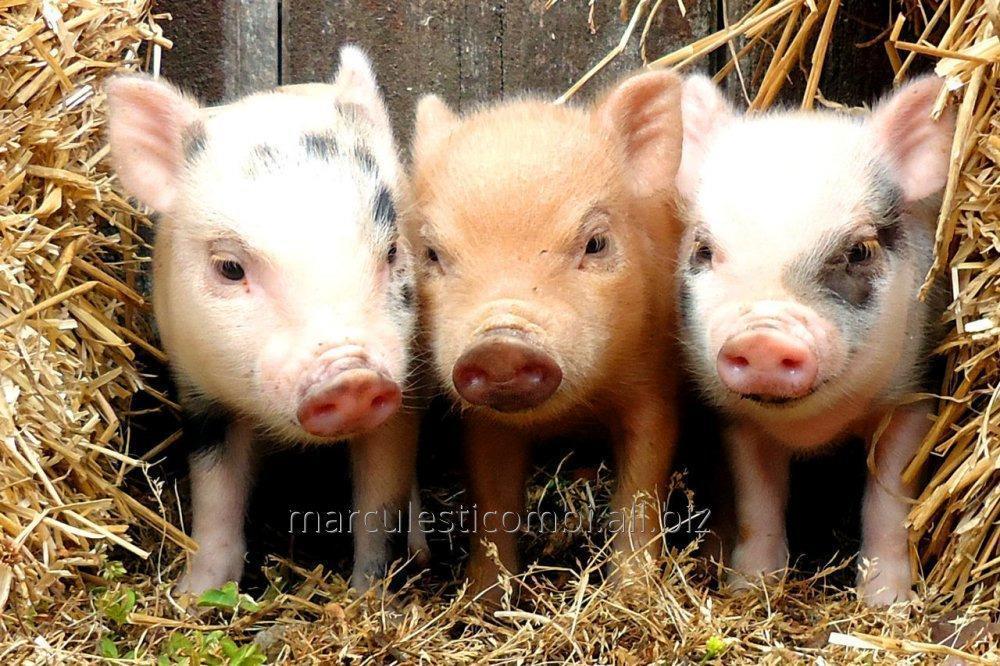 Купить Комбикорм гранулированный для поросят, свиней