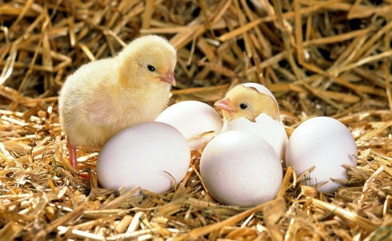 Купить Комбикорм для цыплят, бройлеров, кур-несушек, уток, перепелок