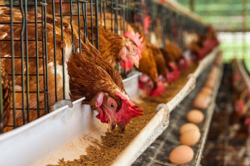 Купить Комбикорма для домашних птиц, кур и кур-несушек в Молдове