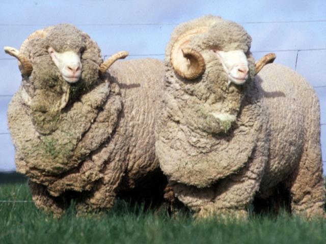 Купить Кожа овечье сырье