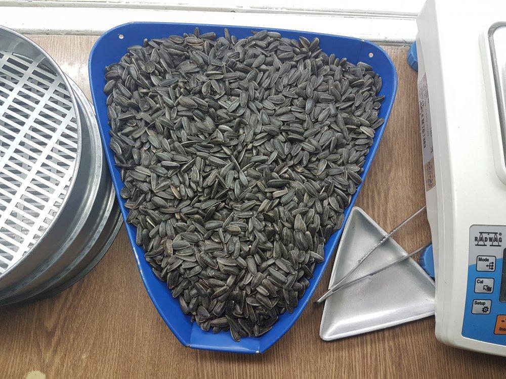 Sunflower seeds black type LACOMCA 3.8+ and FAVORIT 3.8+