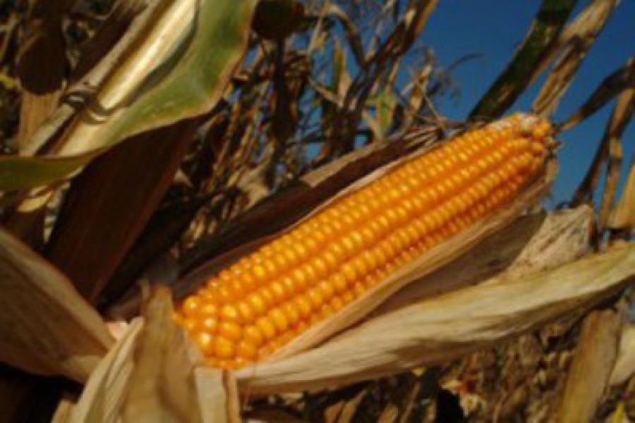 Купить Семена кукурузы Порумбень 461
