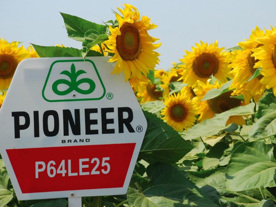 Купить Гибрид подсолнечника pioneer p64le25 - su