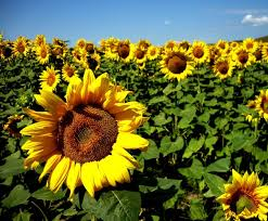 Buy Sunflower