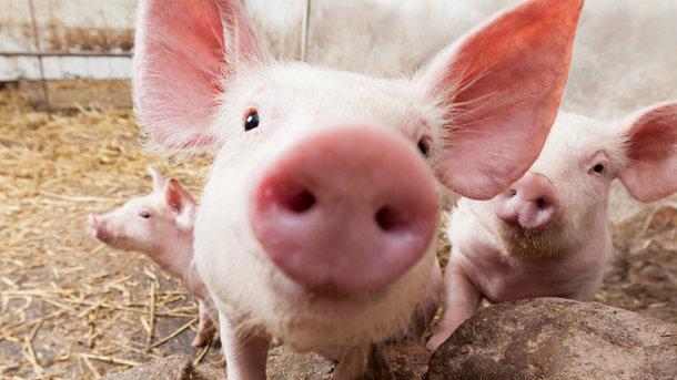 Buy Pig