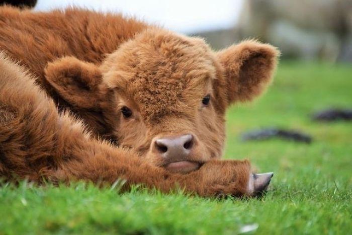 Buy Calves of cattle