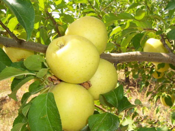Golden Delicious apples for export