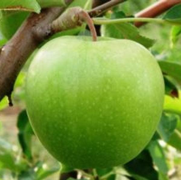Купить Яблоки Мутсу (Криспин)