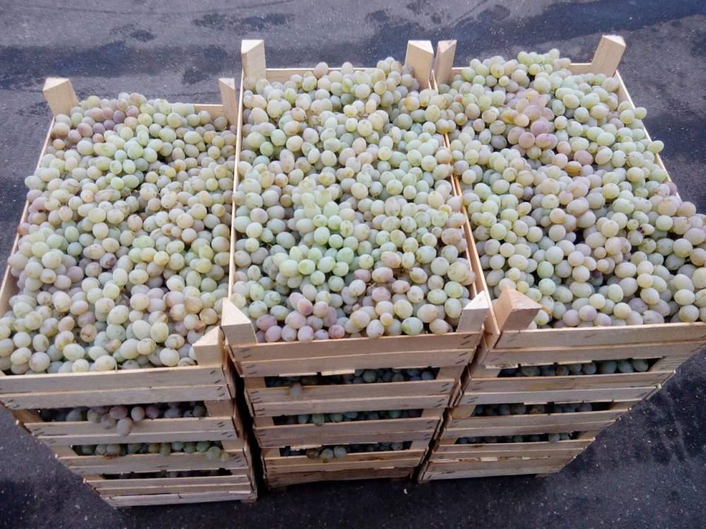 Купить Виноград Яловенский устойчивый