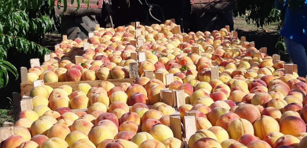 Персики на экспорт охлажденные - калибр от 7 ки