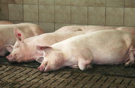Коврик из каучука для разведения свиней Porca Relax