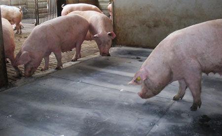 Коврик из каучука  для разведения свиней porca relax f