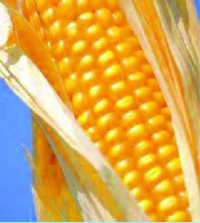 Купить Семена Кукурузы для Белоруссии MTI 171 CRf