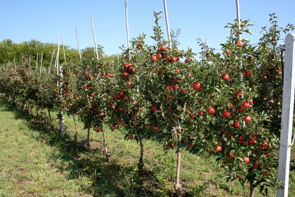 Купить Cаженцы яблок в Молдове и на экспорт
