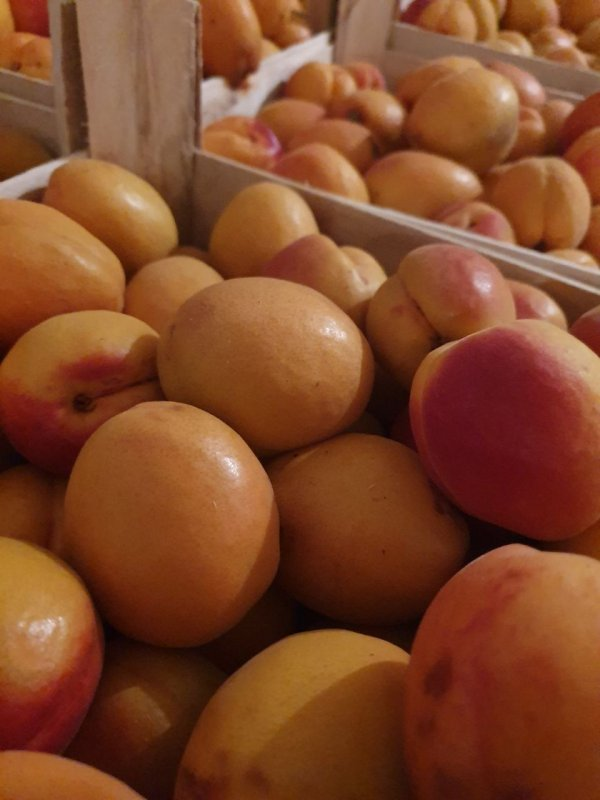 Buy Apricot variety Red-cheeked for export