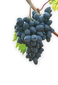 Купить Struguri de masa Codreanca (Виноград Кодрянка)