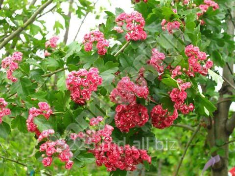 Купить Посадка деревьев, кустов, цветов, лиан, хвойных, газонов