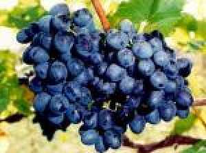 Купить Виноград-Молдова