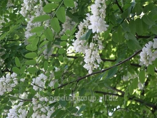 Акация цветки(white acatia)