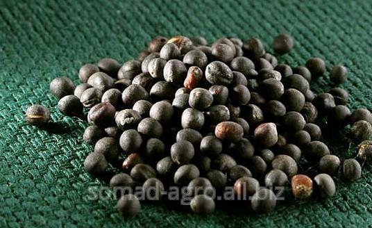 Buy Colza seeds